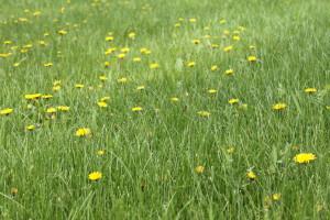 dandelions1